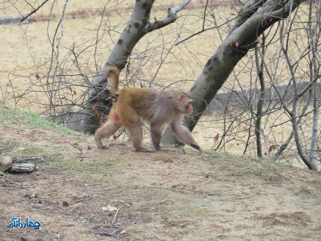 مشاهده یک قلاده میمون در بخش چهاردانگه