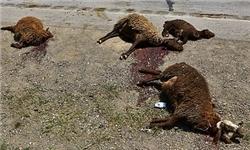حمله 14 گرگ گرسنه به یک گله گوسفند در چهاردانگه