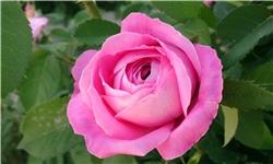 شباهت گل محمدی دودانگه با کاشان/ گلمحمدی منطقه دودانگه چشم انتظار دریافت پروانه بهداشتی