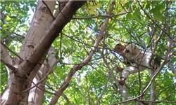 آغاز برداشت گردو در مناطق جنوبی مازندران/ قدمت درختانی که به ۲۰۰ سال میرسد