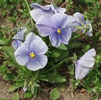 گیاهان دارویی بخش چهاردانگه ( گل بنفشه)