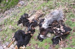 حمله ۵ گرگ به گله گوسفندان در چهاردانگه