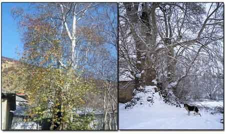 ثبت درختان چنار کهنسال روستاي تيله بن در فهرست ميراث طبيعي ملي کشور