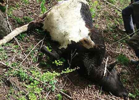 حمله پلنگ به یک دامدار و کشته شدن یک راس گاو در روستای چورت