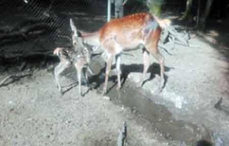 تولد گوساله ای دیگر از مرال ها در ساری