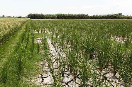برنجکاران مازندران در جدالی نابرابر/زمینهایی که دیگر بوی شالی نمیدهد