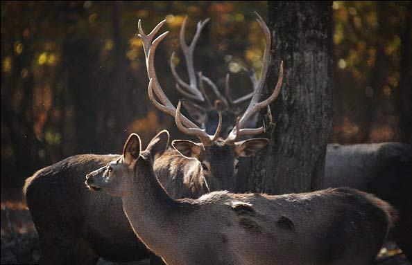 فصلی تکرارناپذیر برای مرالها/ ضرورت حفظ آرامش در جنگلهای شمال