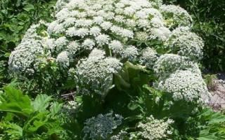 «کولِک» گیاه دارویی کوهستانهای مازندران +تصاویر
