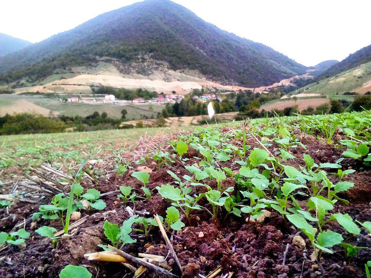 کشاورزان چهاردانگه ای اقدام به سمپاشی مزارع کلزا کنند