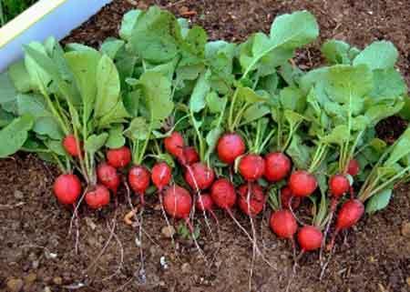 لزوم استفاده نکردن از سموم در پرورش سبزیجات