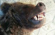 عامل مرگ توله خرس تاکسیدرمیشده، تصادف اعلام شد (تصاویر)