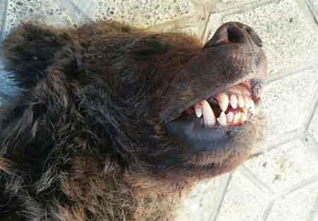 چه کسی توله خرس کیاسر را کشت؟ ( تصاویر )
