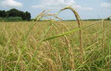 افزایش ۱۰ درصدی تولید شلتوک برنج در سال زراعی جدید