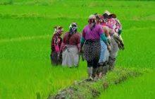 مازندران نبض تپنده تولید برنج کشور