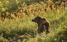 عکس: خرس قهوهای در ارتفاعات پارک ملی کیاسر