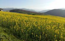 مزارع «کُلزا» یکی ازجاذبه های گردشگری چهاردانگه در ایام نوروز + تصاویر