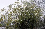 احتمال خسارت به درختان سیاهریشه در ارتفاعات مازندران