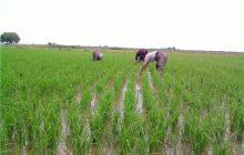 600 میلیون مترمکعب کسری آب در فصل زراعی مازندران