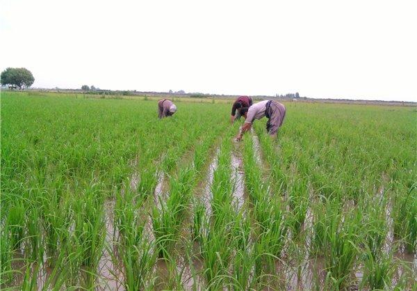 کیفیت و کمیت آب کشاورزی مازندران در حال کاهش