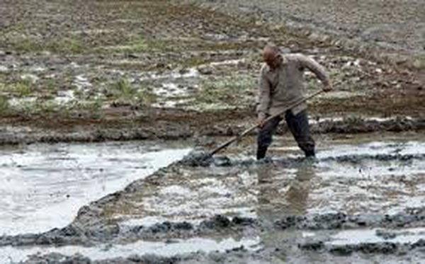 بحران آب در 50 درصد اراضی سطح زیر کشت برنج شهرستان بابل