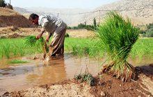 کشت برنج با روشهای نوین به سمت کم آبیاری هدایت شود