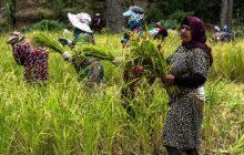 کشت برنج به جز استانهای شمالی ممنوع شد