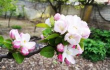 تصاویر زیبا از شکوفه های بهاری طبیعت کیاسر