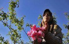 رکوردشکنی تولید گلمحمدی در اراضی شیبدار دودانگه