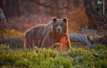 عکسی زیبا از یک خرس قهوهای در حیات وحش چهادانگه