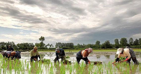مسئولان بدون ارتباط با کشاورزان تصمیمگیری میکنند