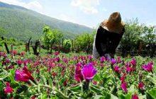 گیاهان دارویی، فرصتی طلایی برای ایجاد اشتغال پایدار در مازندران