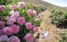 آموزش برداشت گل محمدی و گلاب گیری در دودانگه