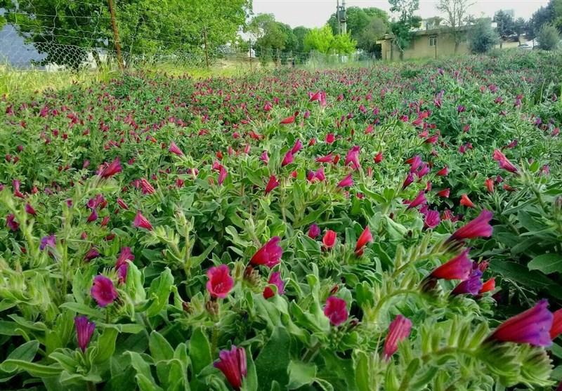 کشت گیاهان دارویی در مناطق بالادست مازندران توسعه یافت