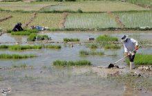 کشت دوم برنج در مازندران ممنوع نشده است