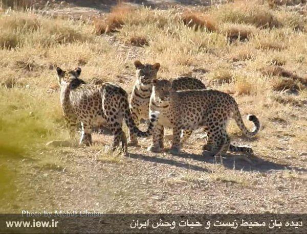ثبت تصویر زیبا و کم نظیر از سه پلنگ ایرانی در منطقه حفاظت شده پرور