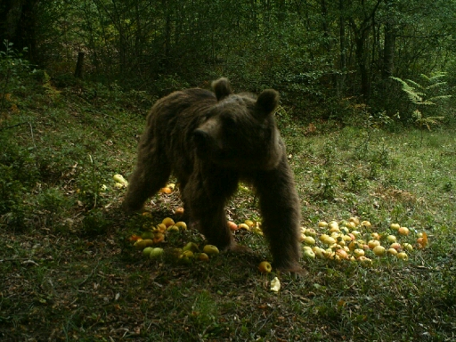 توزیع یک تن سیب بمنظور تغذیه کمکی خرسها در چهاردانگه