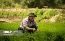 اراضی برنجکاری که هر روز کوچکتر میشوند!