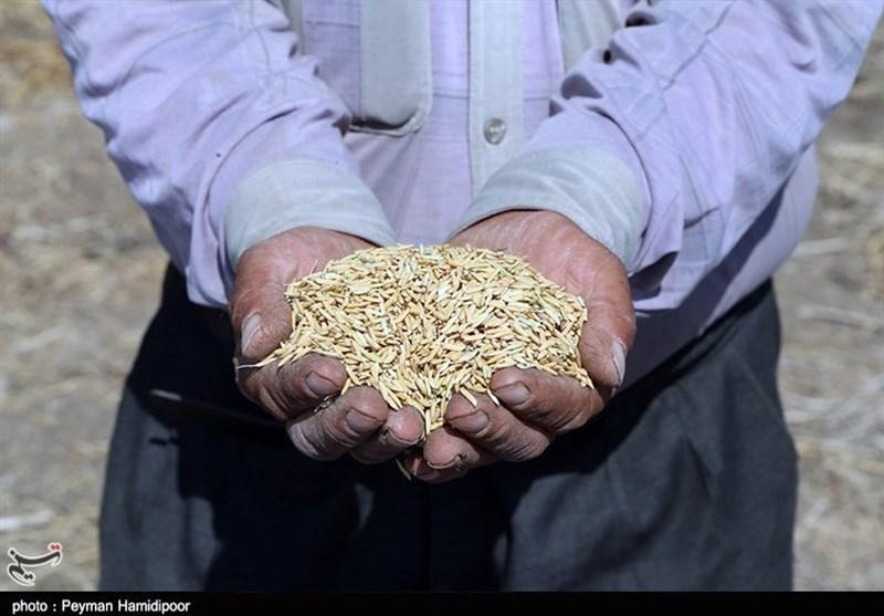 جشنواره ملی برنج با نام ملی اما در حد شهرستانی