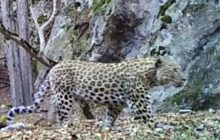 فیلم: ثبت تصاویر کم نظیر از پلنگ با استفاده از دوربین تله ای در پارک ملی کیاسر