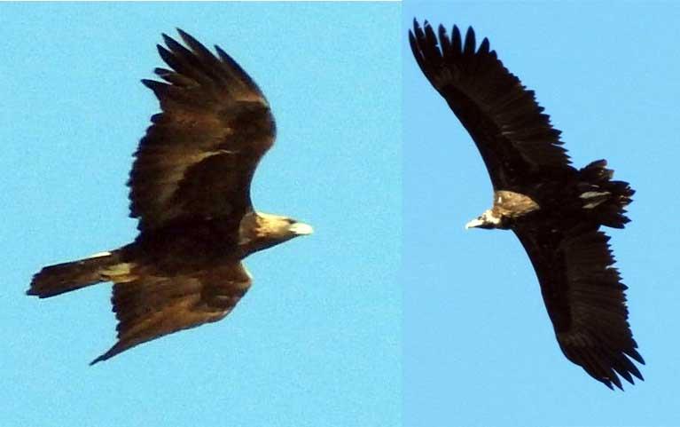 ثبت دو گونه عقاب طلایی و دال معمولی در کیاسر + عکس