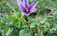 کشت زعفران دریچهای نو برای کشاورزی در دودانگه ساری