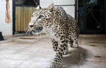 انجام نخستین لقاح مصنوعی پلنگ ایرانی با اسپرم ریکا پلنگ چهاردانگه ای
