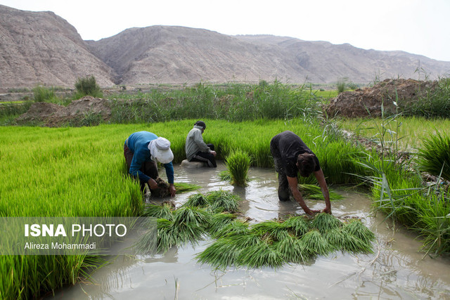 خزانه گیری ۸۵ درصد شالیزارهای مازندران/ خسارت 600 میلیارد تومانی سیل به بخش کشاورزی