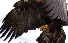 تحویل یک جوجه عقاب طلایی و۲ جوجه سارگپه به محیط زیست چالوس