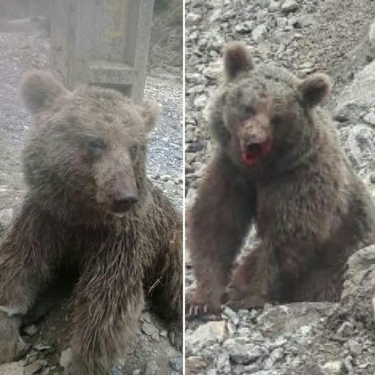 دامدار خرس کش مازنی شناسایی شد
