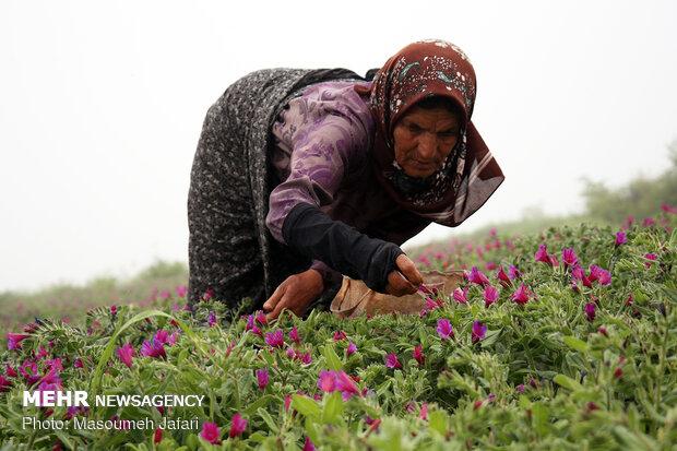 گل گاوزبان در ۱۴۰ هکتار از مزارع رامسر تولید می شود