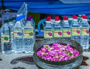 کشت گل محمدی در مناطق بالادست ساری