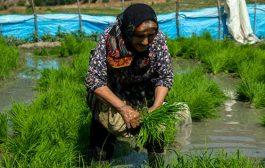 تصاویر: آمادهسازی و نشاء برنج در چهاردانگه