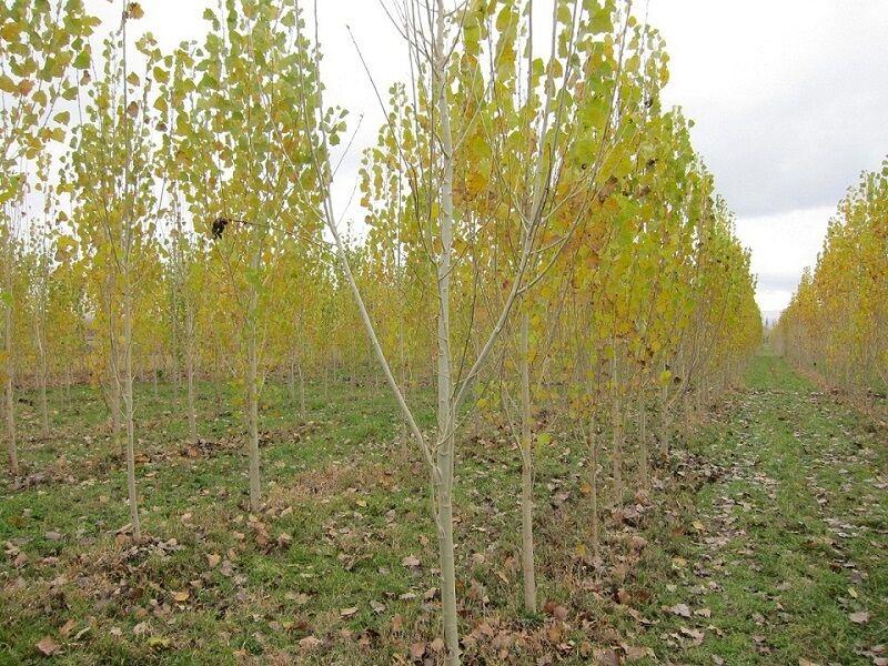 حدود ۲۰ هزار هکتار از جنگلهای شمال باید در قالب طرح زراعت چوب نهالکاری شود