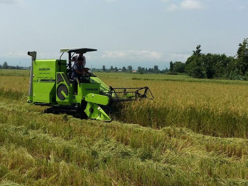 سلام برنج جدید مازندران به بازار با آغاز رسمی برداشت شلتوک